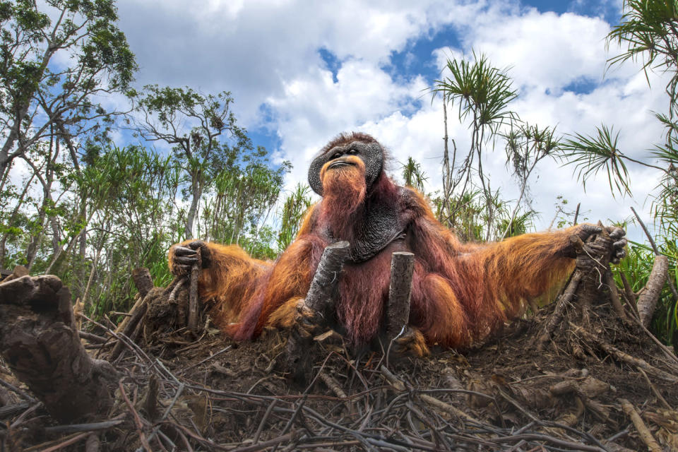 <p>Thomas Vijayan's photo of an orangutan sitting among the remains of several palm trees shows the harsh effects human development has had on the environment. The picture received an honorable mention in the Wildlife category. </p>