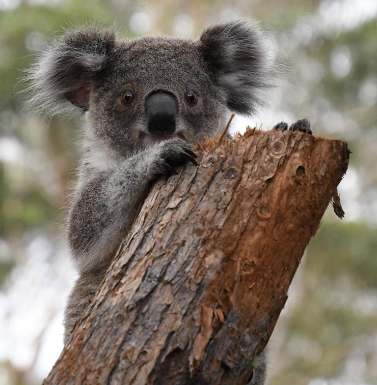 You can adopt a koala at the Port Macquarie Koala Hospital. Photo: Port Macquarie Koala Hospital