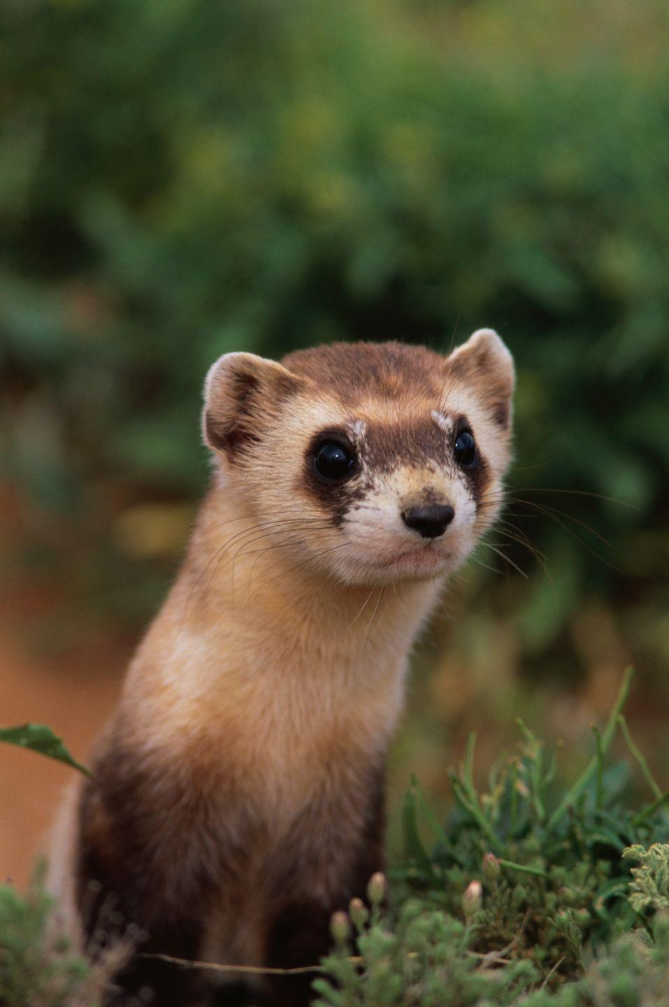<p><strong>Black-Footed Ferret - </strong>Initially introduced to north-central Montana as a recovery effort, this adorable fellow has almost been wiped out by plague. Advanced conservation efforts have been put forth. </p>