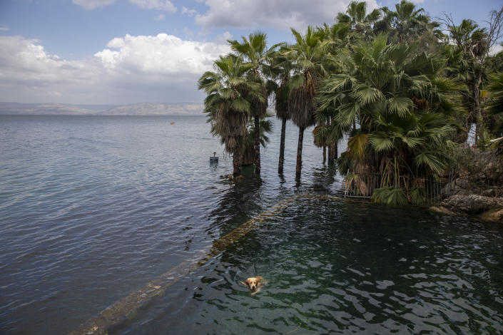 Image: In this Saturday, April 25, 2020 photo, a dog swims in the water as trees stand where dry land was in the Sea of Galilee, locally known as Lake Kinneret. After an especially rainy winter, the Sea of Galilee in northern Israel is at its highest level in two decades, but the beaches and major Christian sites along its banks are empty as authorities imposed a full lockdown. (AP Photo/Ariel Schalit)