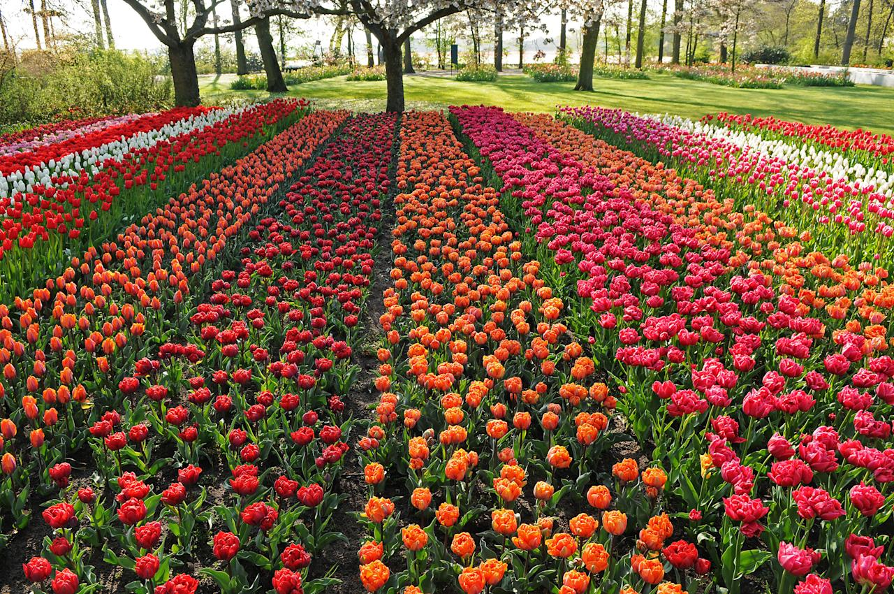 PIC FROM CATERS NEWS - (PICTURED The beautiful tulip filled park) - More than seven million tulips, daffodils and hyacinths will make an spectacularly British display at the largest spring garden in the world. The 80,000 acre exhibition in the Netherlands, known as Keukenhof, is also described as one of the most beautiful in the world, and the United Kingdom is the theme for 2013. It will display a blossoming bulb flower mosaic, containing 60,000 bulbs, of Big Ben and Tower Bridge. The Good Old Albion will be shown off as United Kingdom- Land of Great Gardens. Keukenhof, which has exhibited every spring for 64 years, decided to dedicate the garden to raise attention of the significance of the United Kingdom, especially as an export market for flower bulbs. SEE CATERS COPY