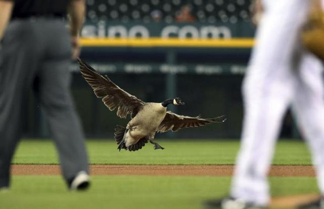 A Canada goose stole the show and survived a crash during the Angels-Tigers game in Detroit. (AP)