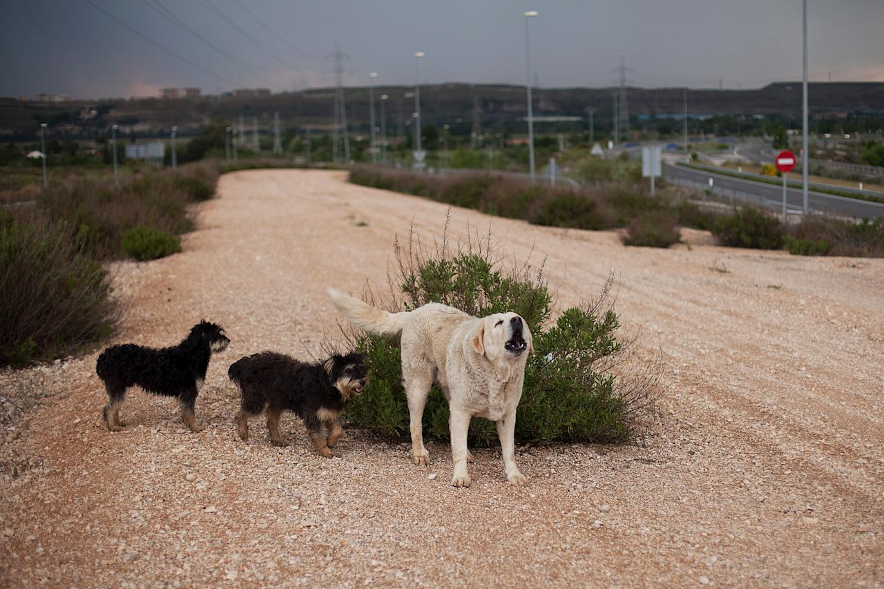 MADRID, SPAIN - MAY 14:  Dogs stand next to a bush along the MP-203 highway project near Mejorada del Campo on May 14, 2013 in Madrid, Spain. The MP-203 highway, which was built to decongest the Barcelona highway (A-2), has remained unfinished for 6 years after an initial investment 70 millions Euro between 2005 and 2007. Despite the completion of around 70 percent of the 12.5 kilometer project it was stopped after issues arose with the Madrid - Barcelona high speed railway and the connection to the R-3 highway.  (Photo by Pablo Blazquez Dominguez/Getty Images)