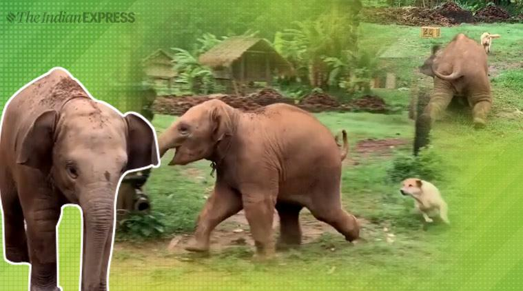 baby elephant, elephant dogs video, elephant dog playing video, elephant slip video, elephant chasing the dogs video,funny videos, indian express