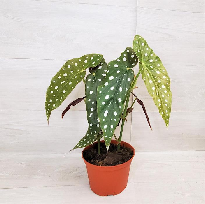 """<h2>Wishlistland Angelwing Begona</h2><br>With his unrivaled green thumb, he's able to keep even the most high maintenance sprouts thriving, and his apartment is filled with unusual specimens that he's collected from cuttings over the years. He'll appreciate a rarer plant baby like this spotted begonia.<br><br><em>Shop Wishlistland on <strong><a href=""""https://www.etsy.com/shop/wishlistland"""" rel=""""nofollow noopener"""" target=""""_blank"""" data-ylk=""""slk:Etsy"""" class=""""link rapid-noclick-resp"""">Etsy</a></strong></em><br><br><strong>wishlistland</strong> Angelwing Begonia, $, available at <a href=""""https://go.skimresources.com/?id=30283X879131&url=https%3A%2F%2Fwww.etsy.com%2Flisting%2F1005408248%2Fangelwing-begonia-begonia-maculata"""" rel=""""nofollow noopener"""" target=""""_blank"""" data-ylk=""""slk:Etsy"""" class=""""link rapid-noclick-resp"""">Etsy</a>"""