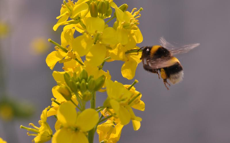 When bees pollinate flowers they grow bigger and smell better, scientists have found - University of Zurich