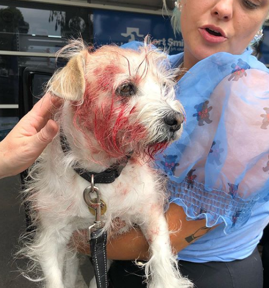 Pictured is the smaller white dog, which was rushed to hospital after the incident. Source: Instragram