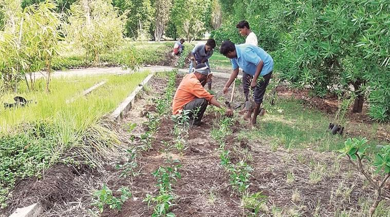 Surat, Surat news, Gujarat news, Surat SMC, Surat plantation drive, plantation drive Surat, indian express, latest news