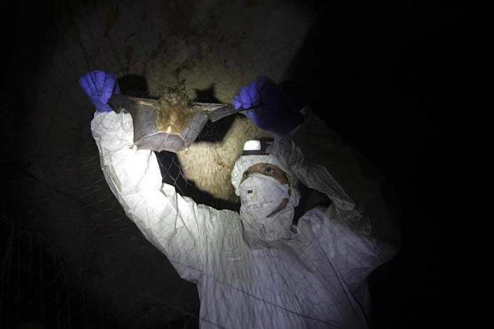 A spotlight in a dark cave shows a person in protective clothing holding the wings of a bat within a net.