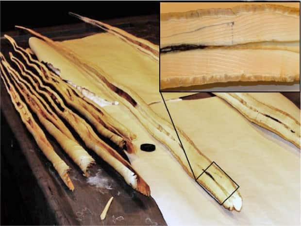 A picture showing a detail of the layers present in a narwhal tusk. Every year, a new layer is added, preserving data about the animal's health and environment like layers of bark on a tree.