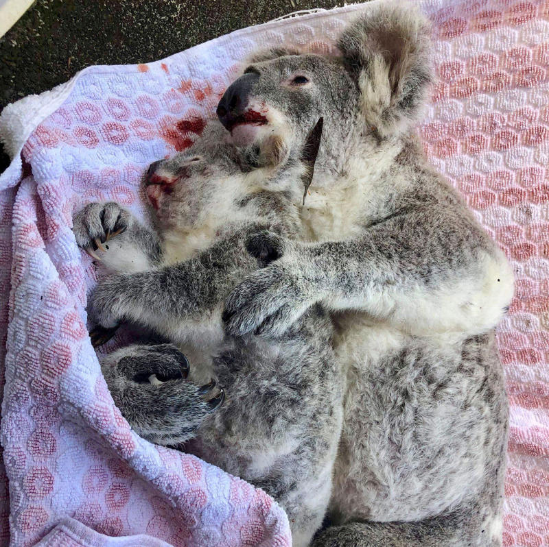 Bernard Jean said the mother koala used her dying moments to cradle her baby.