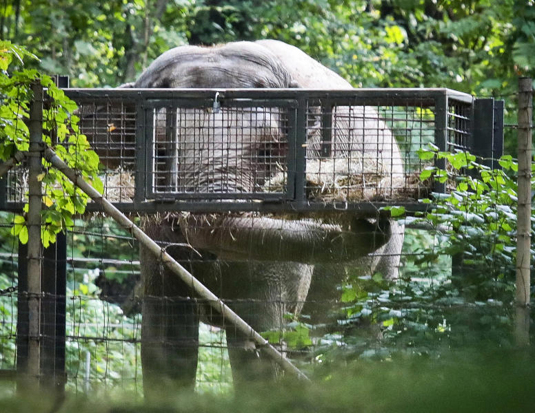 """FILE - In this Oct. 2, 2018 file photo, Bronx Zoo elephant """"Happy"""" feeds inside the zoo's Asia habitat in New York. On Tuesday, Feb. 18, 2020, animal rights advocates have lost a bid seeking to get Happy declared to have human-like rights and transferred to a sanctuary, though a judge said the case for sending the pachyderm to a sanctuary was """"extremely persuasive."""" Judge Allison Tuitt dismissed the Nonhuman Rights Project's petition arguing that Happy the elephant is """"unlawfully imprisoned"""" at the zoo where she has lived since 1977. (AP Photo/Bebeto Matthews, File)"""