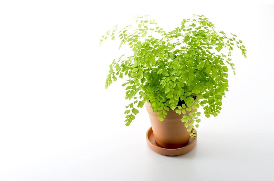 """<p>These delicate ferns are stunning, but be warned: They need high humidity levels (at least 50%) to survive. For this reason, Maidenhair Ferns should be kept in sunny bathrooms where there's plenty of light and moisture. </p><p><a class=""""link rapid-noclick-resp"""" href=""""https://go.redirectingat.com?id=74968X1596630&url=https%3A%2F%2Fwww.etsy.com%2Flisting%2F761027319%2Ffragrant-maidenhair-fern-adiantum&sref=https%3A%2F%2Fwww.goodhousekeeping.com%2Fhome%2Fgardening%2Fg32440507%2Fbest-indoor-hanging-plants%2F"""" rel=""""nofollow noopener"""" target=""""_blank"""" data-ylk=""""slk:SHOP MAIDENHAIR FERN"""">SHOP MAIDENHAIR FERN</a></p>"""