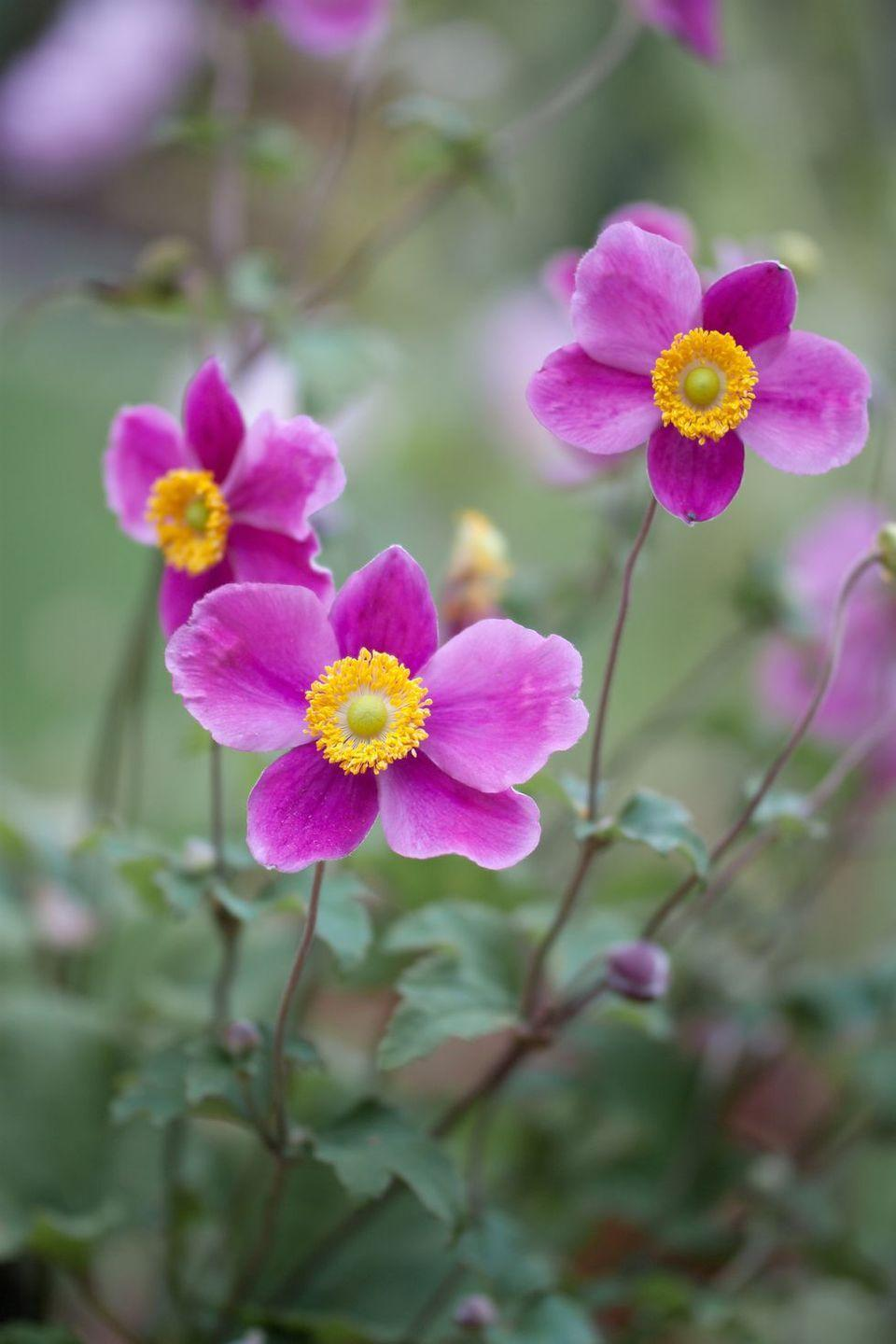 <p>These blooms take their name from the Greek word for wind (<em>anemos</em>) since their lives are so short. In modern times, they symbolize fragility. Because they're so short-lived, these pretty little flowers are best appreciated in the garden. </p>