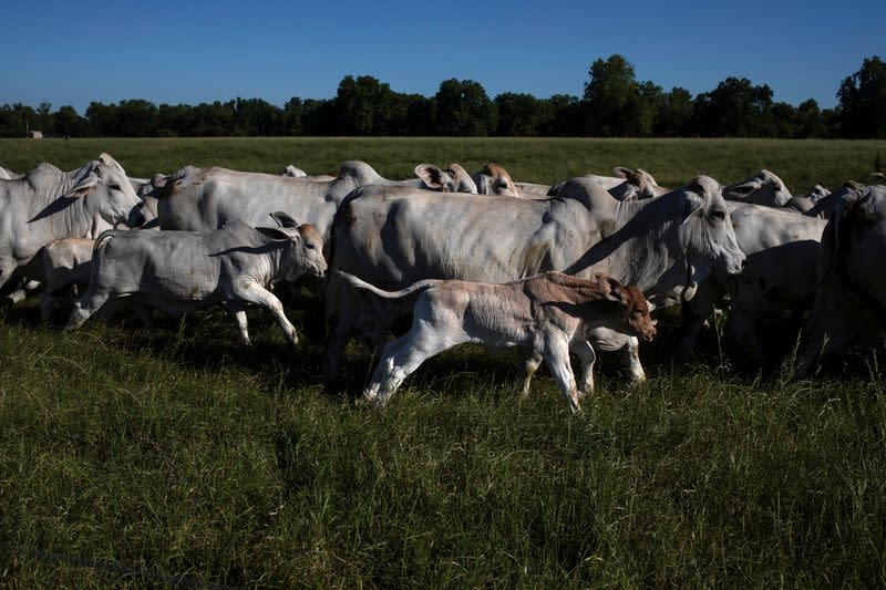 North America bulges with cattle as virus closes packers, leaving retailers hungry for beef