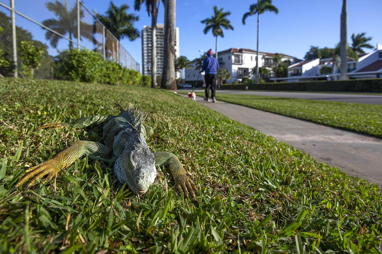 An iguana immobilized from cold temperatures lays on grass in West Palm Beach, Florida, U.S., on Wednesday, Jan. 22, 2020. Cold-stunned iguanas fell from trees in South Florida Wednesday morning as temperatures in Miami hit 40 degrees and wind chills reached in the 20s and 30s in South Florida, The National Weather Service reported. Photographer: Saul Martinez/Bloomberg