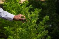 Sociologist Marcel Razafimahatratra questioned why artemisia was not used in China where the pandemic originated, noting that the plant has been used in Chinese medicine for centuries (AFP Photo/RIJASOLO)