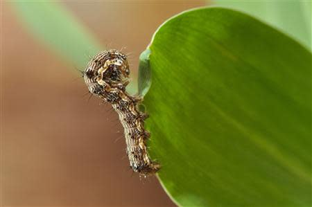 Handout photo of a helicoverpa armigera caterpillar climbing up a leaf