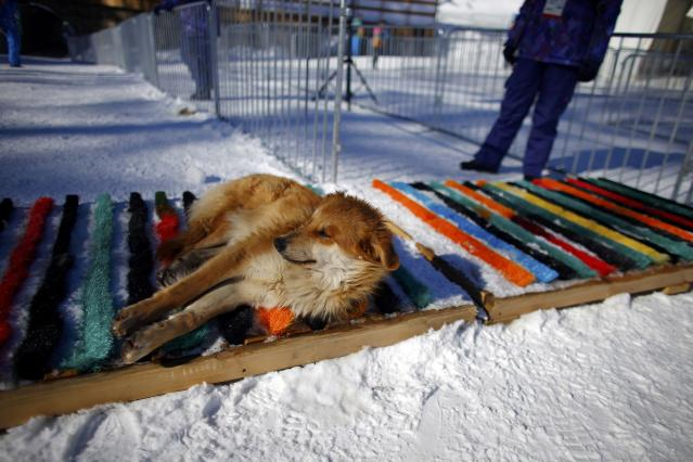 A dog sleeps at the entrance of the finish line during a cross-country training session for the Sochi 2014 Winter Olympic Games in Rosa Khutor