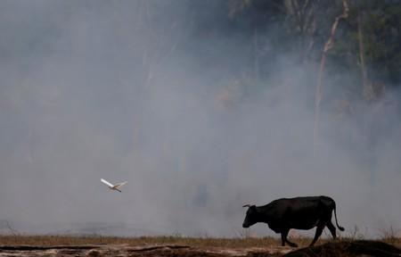 A bird flies next to an ox walking on a smoldering field that was hit by a fire burning a tract of the Amazon forest as it is cleared by farmers, in Rio Pardo