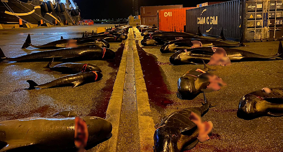 An estimated 52 pilot whales were killed by Faroese hunters on Wednesday. Source: Sea Shepherd
