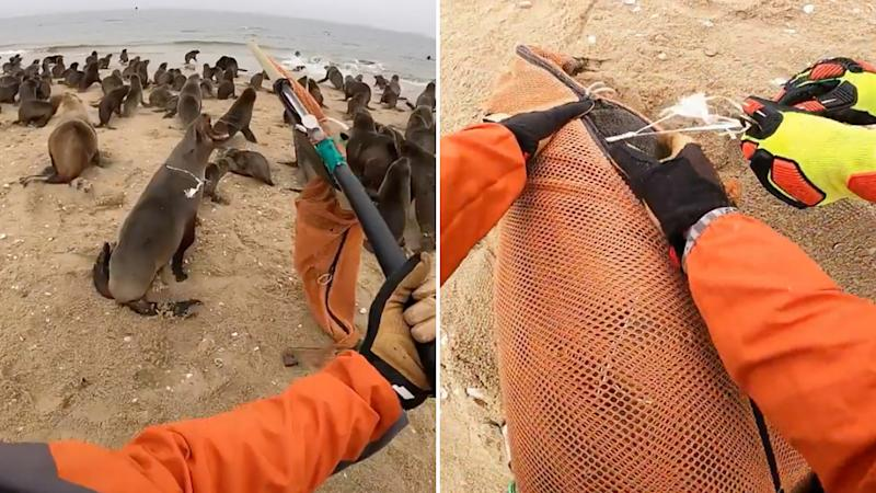 The Ocean Conservation Namibia capture a seal with a white strong around it's neck (left), on closer inspection they find it is a party balloon with a strong attacked (right)