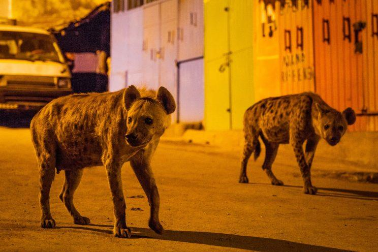 Two spotted hyenas search for scraps of food on the streets of Harar