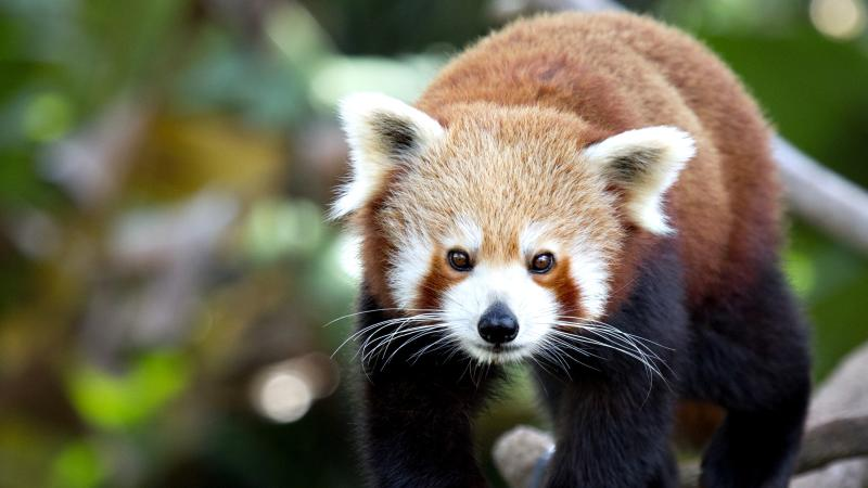 Red panda escapes wildlife park for second time