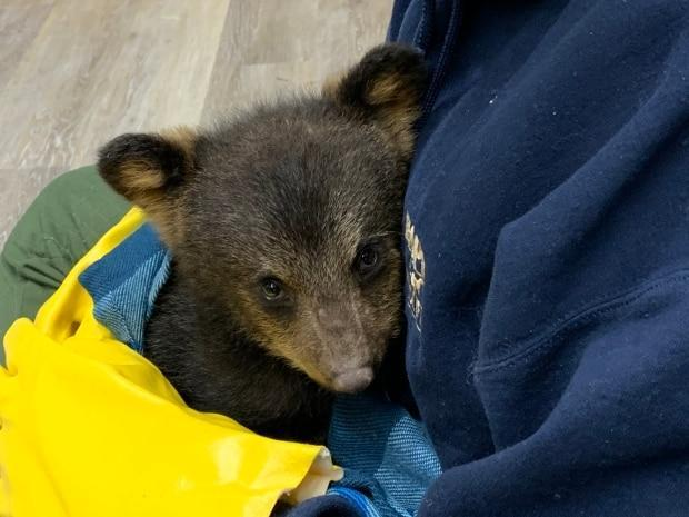 This black bear cub was taken to Hope for Wildlife in Seaforth, N.S., last summer after its mother was killed. The Department of Lands and Forestry later removed the cub from the centre and it was euthanized. (Submitted by Hope Swinimer - image credit)