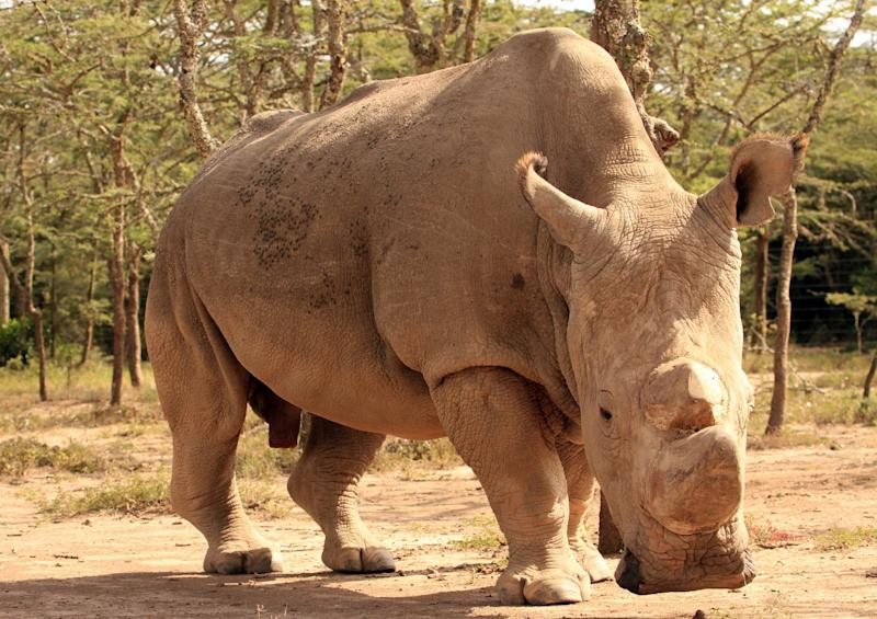 The rhinos are given notches on their ears to help conservationists distinguish themWill Whitford