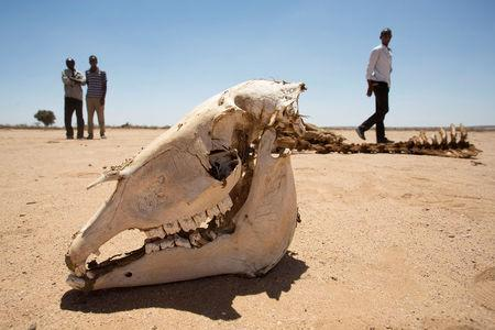 People walk near the carcass of a domestic animal that died due to severe drought in Baligubadle village near Hargeisa, the capital city of Somaliland, in this handout picture provided by The International Federation of Red Cross and Red Crescent Societies on March 15, 2017. The International Federation of Red Cross and Red Crescent Societies/Handout via REUTERS.