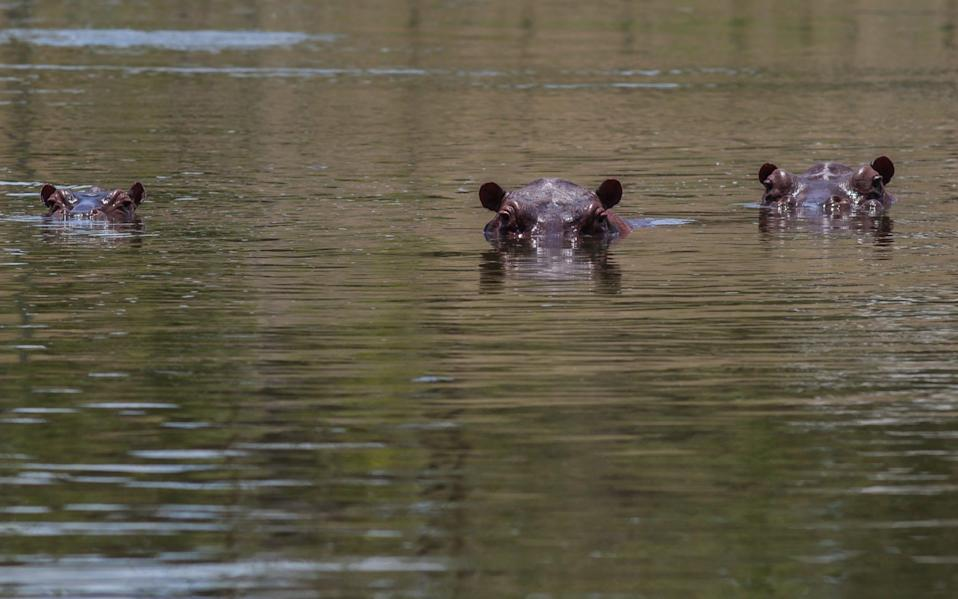 Hippopotamus swim in one of the lakes near by Hacienda Napoles on September 24, 2018 in Doradal, Colombia - Juancho Torres