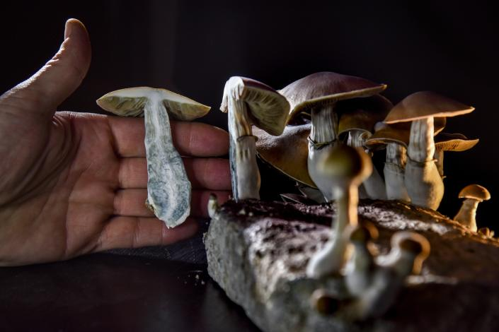 Psychedelic mushrooms are seen here, grown by a D.C.-based activist. On Election Day through a ballot measure, Oregon legalized the therapeutic use of their main chemical component — psilocybin — for depression and other issues. (Photo: Jahi Chikwendiu/The Washington Post via Getty Images)