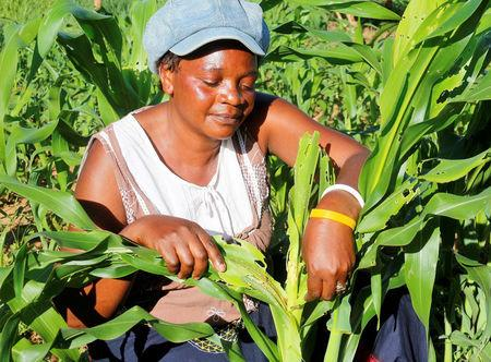 Small scale farmer Mutale Sikaona examines maize plants affected by armyworms in Keembe district, Zambia, January 6, 2017.   REUTERS/Jean Mandela