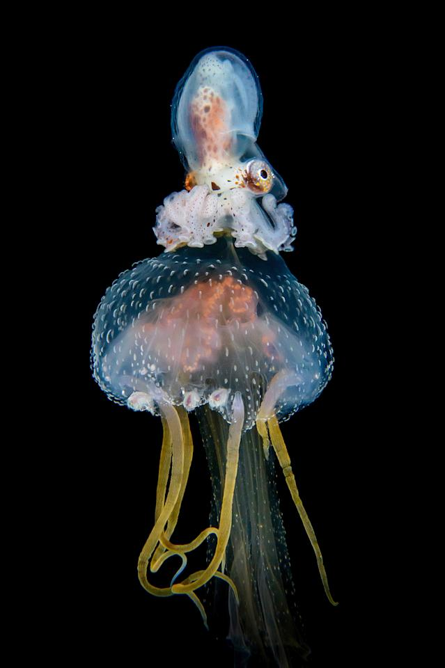 <p>An Argonauta hians on a female jellyfish from the waters around Anilao, Philippines. (Photo: Cai Songda/Caters News) </p>