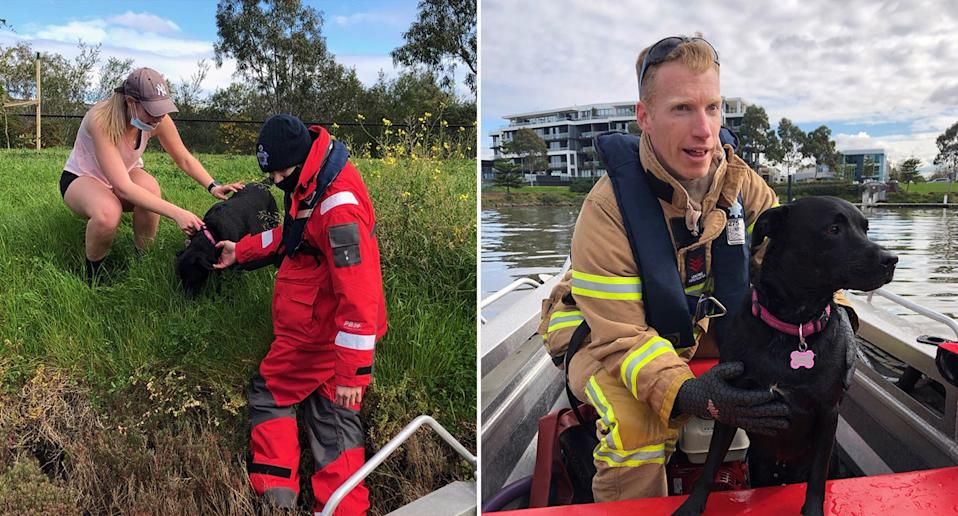 The duck-obsessed black Labrador, Indy, lead fire and rescue crews on a wild duck chase. Source: Fire. Rescue Victoria/Facebook