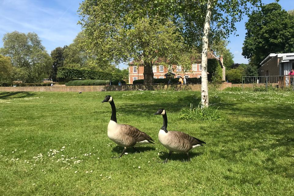 Canada Geese at Hall Place stately home Bexley (Barney Davis)
