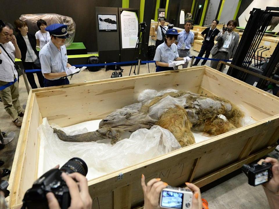 Members of Japan customs inspect a 39,000-year-old female baby woolly mammoth named Yuka from the Siberian permafrost upon its arrival at an exhibition in Yokohama, Tokyo, in July 2013 (Kazuhiro Nogi/AFP via Getty Images)
