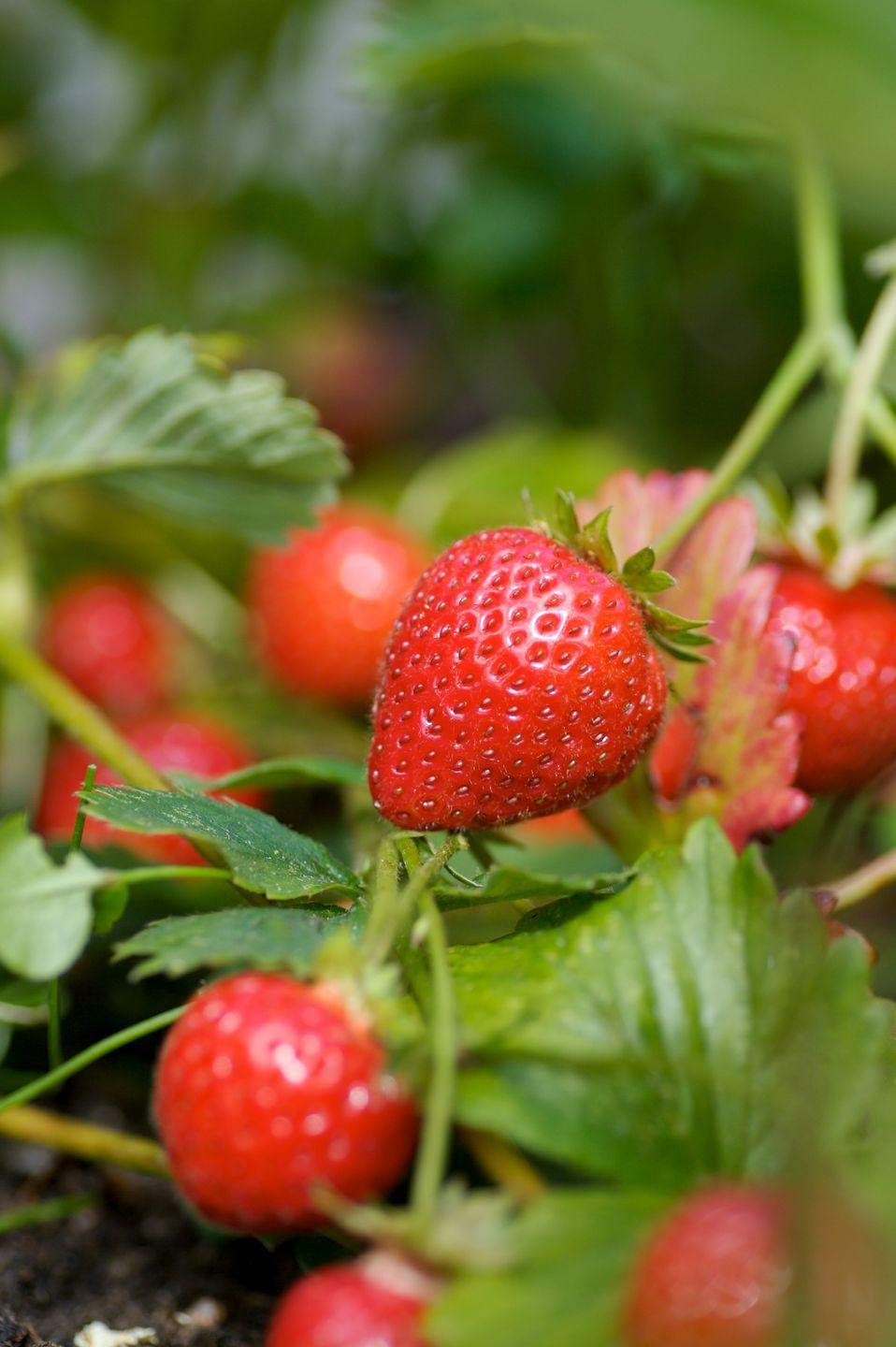 """<p>Plant your strawberries during <a href=""""https://www.housebeautiful.com/uk/garden/a35900181/spring-summer-gardening-trends/"""" rel=""""nofollow noopener"""" target=""""_blank"""" data-ylk=""""slk:spring"""" class=""""link rapid-noclick-resp"""">spring</a> or autumn, preferably in a sunny and sheltered position. Easy to plant and mostly trouble free, these bright red fruits are perfect for children to grow (and eat) during the holidays. <br></p><p>'This is one of the most rewarding child-proof plants you can try this summer half-term,' J Parker's add. 'The strawberry is easy to plant and requires very little maintenance. The Strawberry Florence, for instance, a late strawberry variety, is known to be hardy and resilient to diseases.'</p><p><a class=""""link rapid-noclick-resp"""" href=""""https://go.redirectingat.com?id=127X1599956&url=https%3A%2F%2Fwww.primrose.co.uk%2F-p-133953.html&sref=https%3A%2F%2Fwww.housebeautiful.com%2Fuk%2Fgarden%2Fplants%2Fg36446066%2Fplants-for-kids%2F"""" rel=""""nofollow noopener"""" target=""""_blank"""" data-ylk=""""slk:BUY NOW VIA PRIMROSE"""">BUY NOW VIA PRIMROSE</a></p>"""