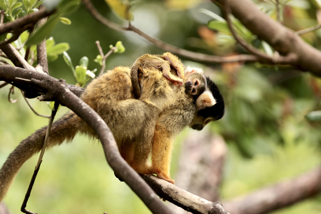 One of the mother and baby squirrel monkey pairs at ZSL London Zoo (Sheila Smith/ZSL London Zoo/PA)