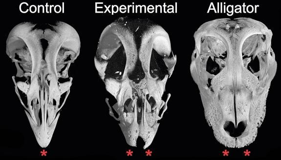 CT cans of the skulls of a control chicken embryo, altered chicken embryo and an alligator embryo. The chicken embryo whose protein activity had been modified shows the ancestral snout.