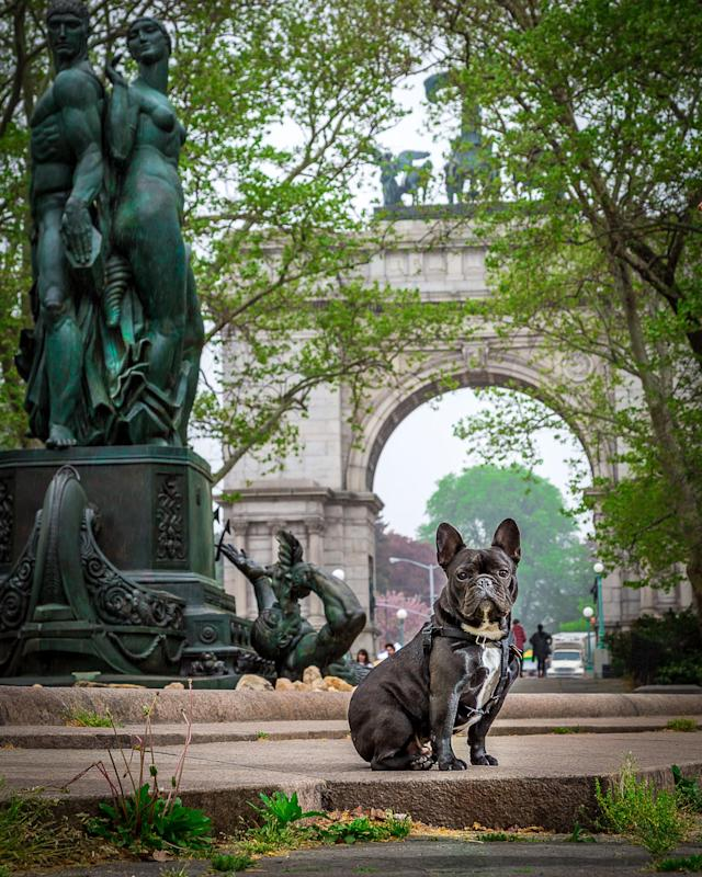 <p>French Bulldog looking stately in Prospect Park, Brooklyn. (Photo: Mark McQueen/Caters News) </p>