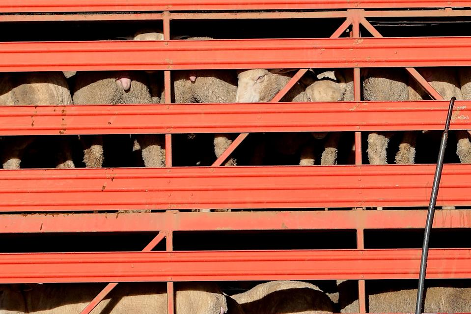 Close up of sheep in a truck.