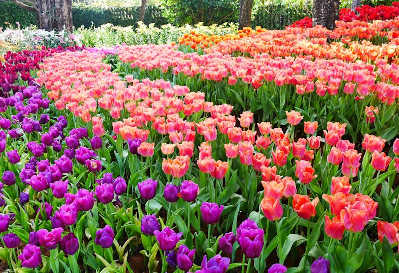 Formal Garden, Tulip, Mount Vernon - Washington State, Pacific Northwest, Skagit Valley