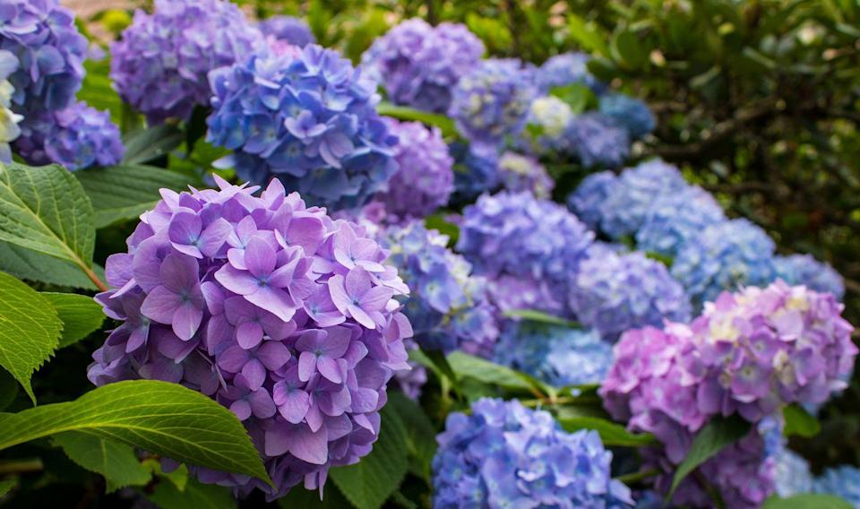 """<p>Coming in shades of white, purple, blue, and periwinkle, hydrangeas make a big impact with their tight clusters of bright blooms. You can buy seeds for only single-colored hydrangeas, or choose a mix to be surprised. </p><p><a class=""""link rapid-noclick-resp"""" href=""""https://www.amazon.com/gp/slredirect/picassoRedirect.html/ref=pa_sp_atf_aps_sr_pg1_1?ie=UTF8&adId=A066107814B1DYK1AM20V&url=%2FHydrangea-Garden-Gardeners-Choice-%25EF%25BC%2588Mixed%2Fdp%2FB0915NFMBG%2Fref%3Dsr_1_4_sspa%3Fdchild%3D1%26keywords%3Dhydrangea%2Bseeds%26qid%3D1620327332%26sr%3D8-4-spons%26psc%3D1&qualifier=1620327332&id=3993133239551216&widgetName=sp_atf&tag=syn-yahoo-20&ascsubtag=%5Bartid%7C10070.g.36355297%5Bsrc%7Cyahoo-us"""" rel=""""nofollow noopener"""" target=""""_blank"""" data-ylk=""""slk:Buy hydrangea seeds.""""> Buy hydrangea seeds.</a></p>"""