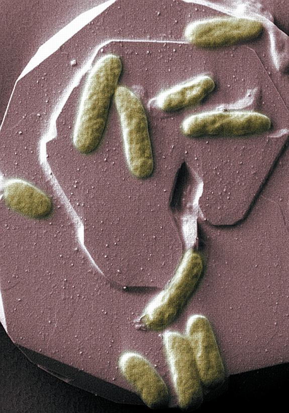 Electric Bacteria Could Be Used for Bio-Battery