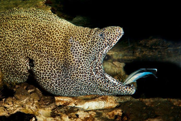 A large eel opens its mouth for a small colourful fish.