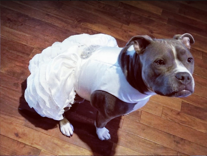 """Jennifer Hindieh decided to buy a wedding dress for her pit bull Bailey, one she'll wear to walk down the aisle. """"She is my family,"""" she told the Dodo. (Photo: Facebook, Jennifer Hindieh)"""