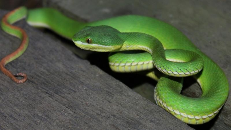 Snake Who Ended Up Twisted Spine After Being Hit Undergoes MRI Scan in Mumbai