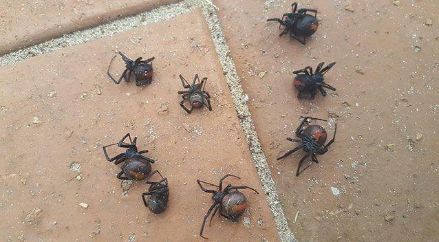 The cluster of redback spiders was snapped after being found on the windowsill of a Warrnambool home in Victoria's South West. Source: Reddit